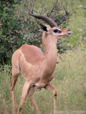 Male gerenuk, Samburu Kenya