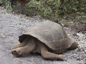 Galapago tortoise, Isla Isabela