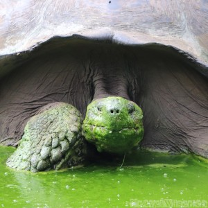 Giant Galapagos tortoise in green mud bath