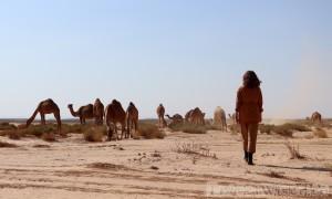 Dromedaries in the Eastern Desert, Jordan