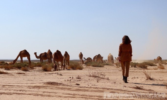 Dromedaries in the Eastern Desert, Jordan