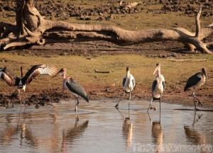 Marabou storks, Kruger Park