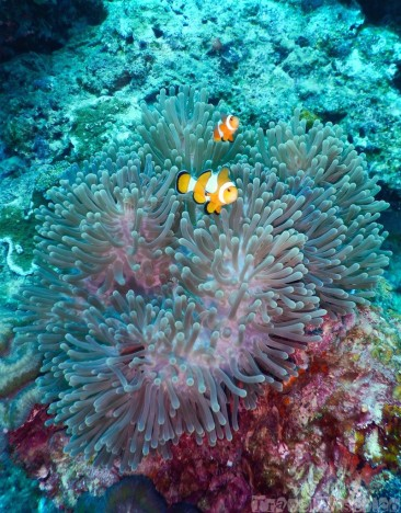 Clownfish in their anemone, Surin Islands