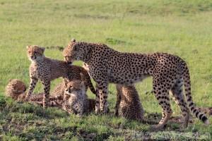 Cheetah with cubs, Mara North Conservancy Kenya
