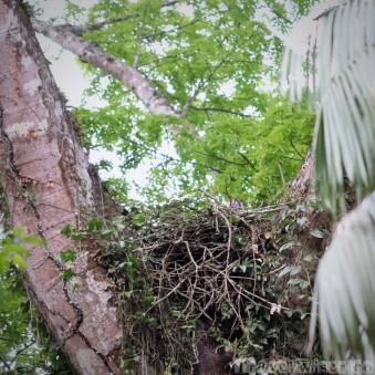 Harpy eagle nest near Mapari creek, Guyana