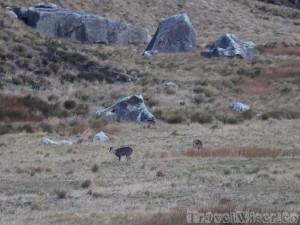 White-tailed deer, Chimborazo
