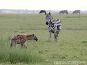 Zebra surveilling a hyena, Mara North Conservancy Kenya