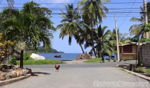 Rooster on the road in Charlotteville Tobago