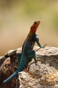 Red-headed rock agama lizard, Northern Kenya