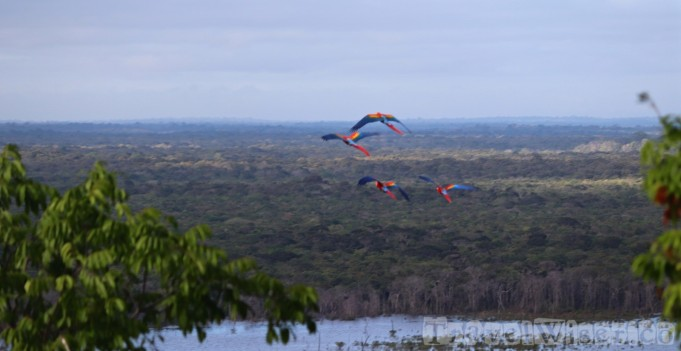 Macaws flying over the rainforest in Guyana