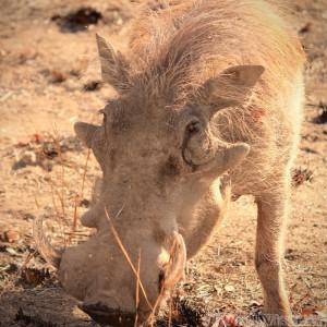 Warthog, Kruger National Park SA
