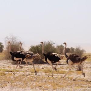 Ostriches in the Danakil Depression Ethiopia