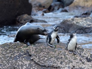 Sea lion and Galapagos penguins