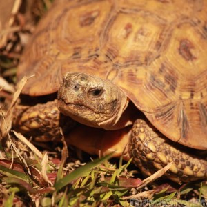 Tortoise, Malolotja Nature Reserve wildlife