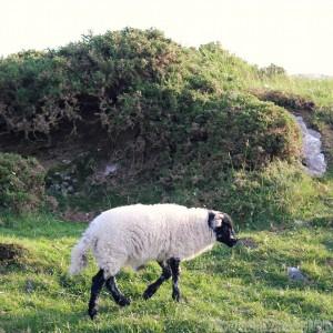 Lamb, Connemara Ireland