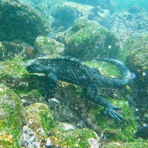Marine iguana feeding underwater, Galapagos Ecuador