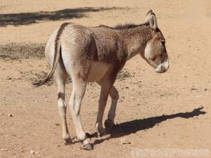 Onager, Shaumari Wildlife Reserve Jordan