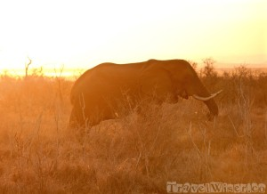Elephant on a sunset game drive in Hlane Royal National Park