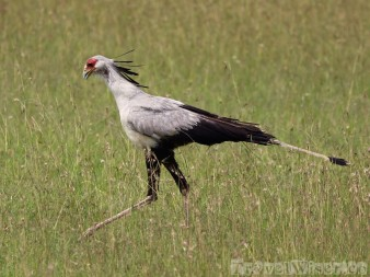 Secretary bird Kenya