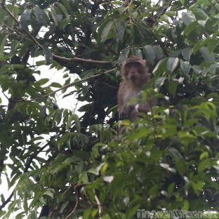 Long-tailed macaque, Khao Sok National Park