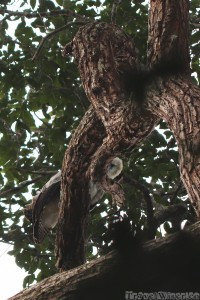 Juvenile harpy eagle, Surama Guyana