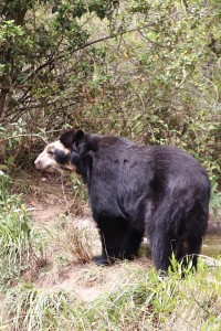Andean bear at Bioparco Amaru Ecuador