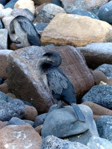 Flightless cormorant, Isla Isabela