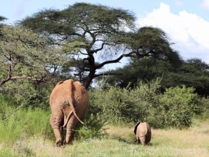 Elephant mother and calf, Samburu National Reserve Kenya