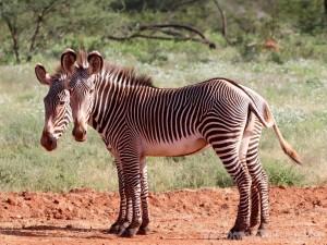Two psychedelic Gravy's zebras, Samburu Kenya