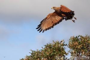 Savannah hawk, Karanambu Guyana