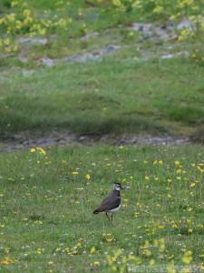 Aran islands birdwatching