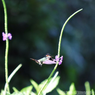 Tufted coquette hummingbird, Yerette Trinidad