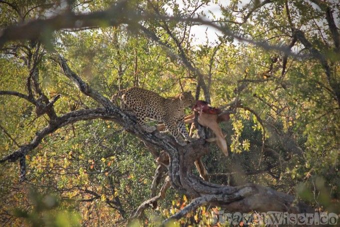 Leopard enjoying his meal up a tree