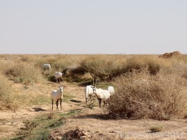 Oryx at Shaumari Wildlife Reserve Jordan
