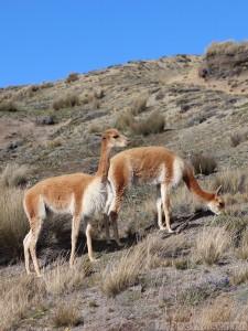 Vicuñas, Reserva de Produccion Faunistica Chimborazo Ecuador