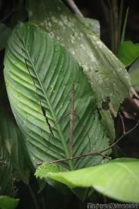 Stick insect, Yasuni National Park Ecuadorian Amazon