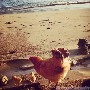 Chicks on the beach in Trinidad and Tobago