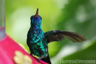 Blue-chinned sapphire hummingbird, Yerette Trinidad