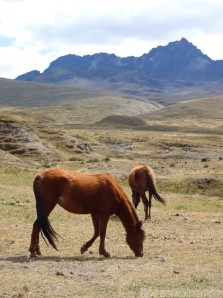 Wild horses in Cotopaxi National Park, Ecuador
