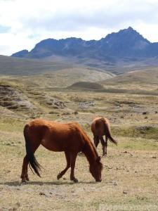 Wild horses in Cotopaxi National Park, Ecuador
