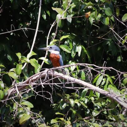 Kingfisher, Rupununi River Guyana