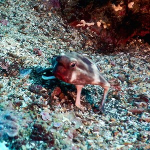 Red-lipped batfish, diving in the Galapagos Islands