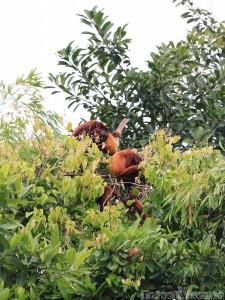 Red howler monkey family sleeping in a tree, Ecuador