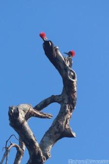Lineated woodpeckers, Guyana