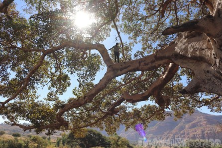 Man climbing a giant sycamore fig tree