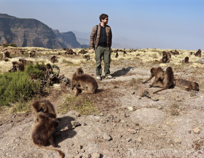 Man in the middle of a group of gelada monkeys in the Simien Mountains