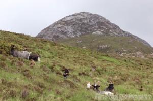 Feral goats, Connemara National Park Ireland