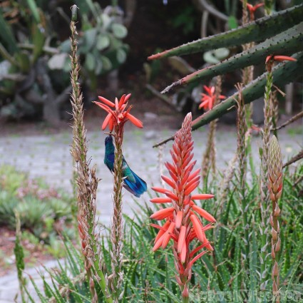 Hummingbird at the Jardin Botanico Quito