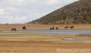 Wild horses at Laguna Limpiopungo Cotopaxi national park