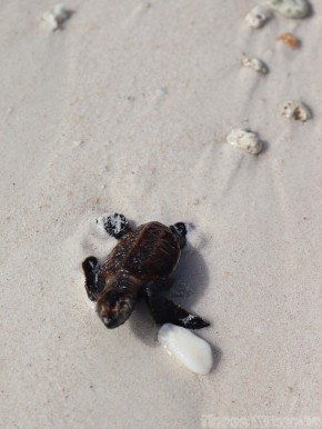 Baby turtle hatchling, Seychelles
